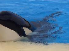 In Waddenzee gevonden orka Morgan is zwanger