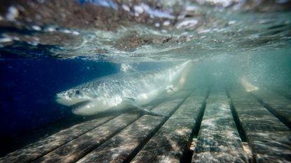 Oceanologen vinden hun heilige graal: broedplaats van grote witte haai