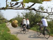 Verbrande appels aan de bomen in de Betuwe door extreme hitte: flink lagere opbrengst