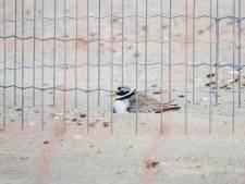 De bontbekplevier nestelt opnieuw op strand bij Oranjezon