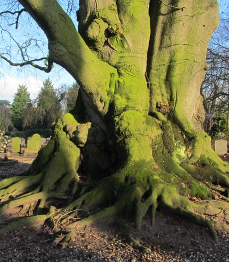 Eén van de mooiste bomen van Gelderland staat in Zaltbommel
