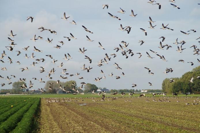 Ganzen vreten akkers kaal, op de foto in Nissewaard, Zuid-Holland.