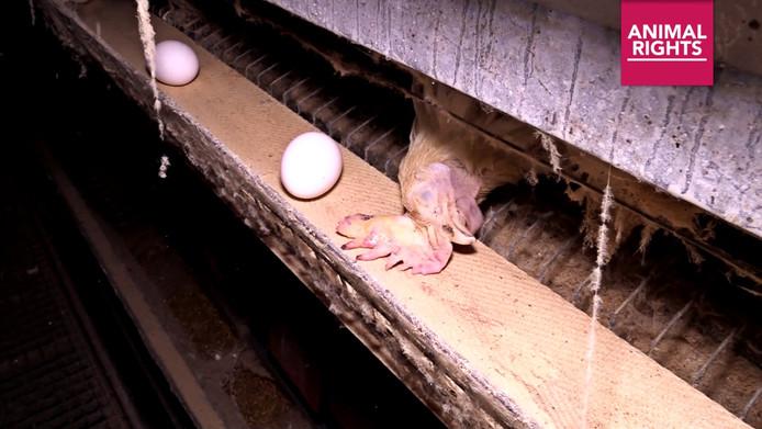 Still uit video van Animal Rights. De dierenrechtenorganisatie bezocht een pluimveehouderij in Tollebeek. Een 'horror-kippenschuur' concludeert Animal Rights op basis van wat ze zagen.