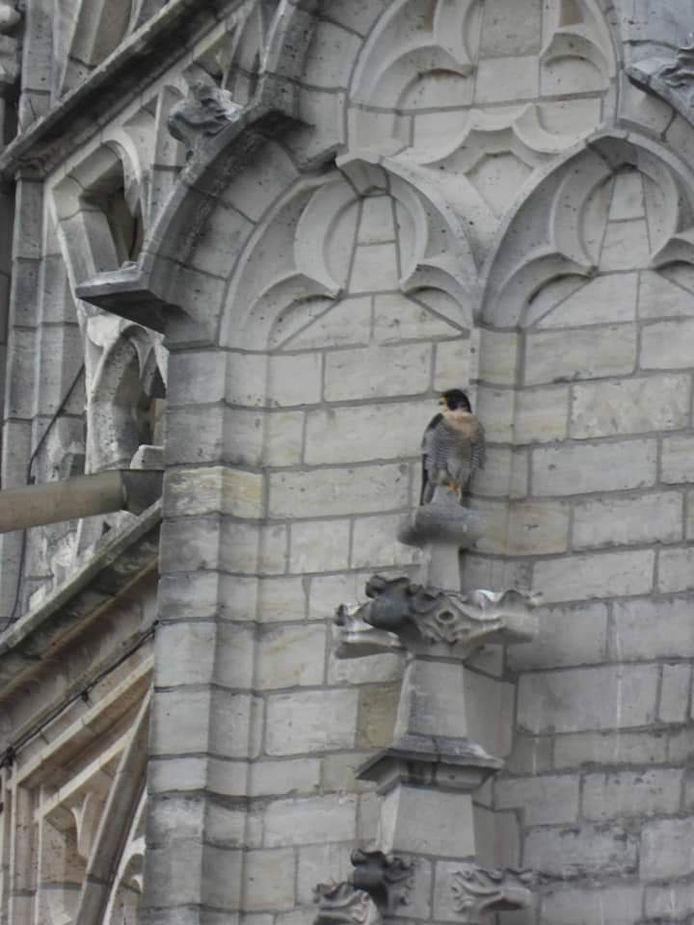 Eén van de slechtvalken tegen de gevel van de Grote Kerk in Breda