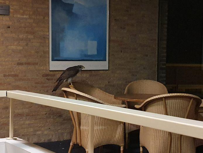 De havik in het hotel in Helvoirt. Even later werd het dier weer vrijgelaten door medewerkers van de Dierenambulance.
