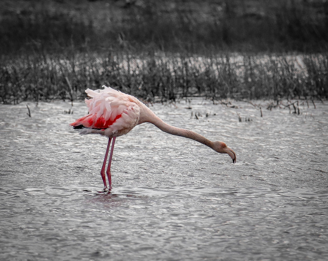 Een van de flamingo's in het Zwillbrocker Venn.