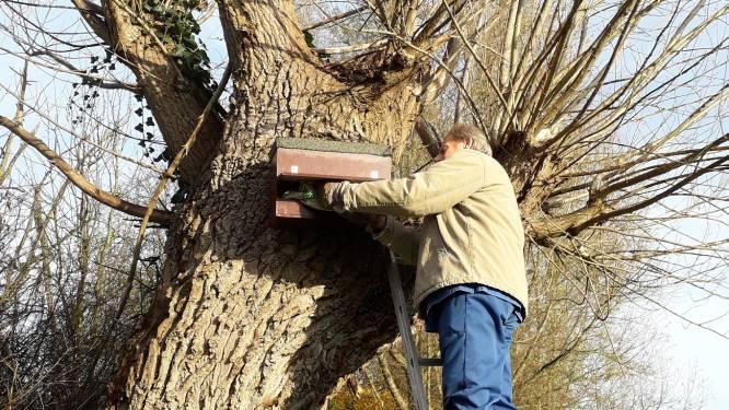 Natuurpunt Rupelstreek hangt nieuwe reeks nestkasten voor steenuiltjes