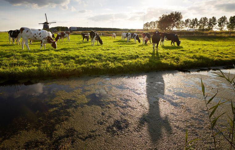 Koeien in de wei in het Groene Hart. Beeld  Martijn Beekman