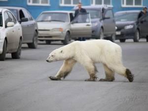 Un ours blanc affamé repéré à plus de 800 km de son habitat