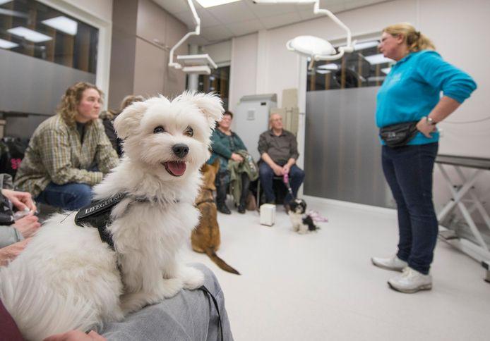 De Maltezer pup Flynn kijkt nieuwsgierig rond tijdens de instructies van Silke Heddema van Hondenschool Goes (rechts, staand). Ook de andere honden gedragen zich voorbeeldig tijdens de puppy-party in Heinkenszand.