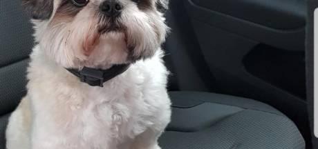 Vakantie op Ibiza verandert in nachtmerrie voor stel uit Rijsbergen: hondje Dano vermist