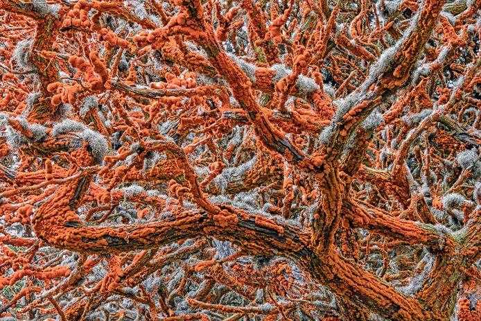 Gesierd met uitpuilend oranje fluweel en afgezet met grijs kant, draaien de armen van een Monterey cipres om een buitenaardse luifel te creëren. Na enkele dagen experimenteren besloot Zorica tot een close-upframe. Ze heeft 22 afbeeldingen op elkaar gestapeld en de scherpe kenmerken in elk van de foto's samengevoegd om het kleurrijke doolhof diepgaand te onthullen. 'Tapestry of life' van Zorica Kovacevic won de categorie Plants and Fungi van de wedstrijd Wildlife Photographer of the Year 2019.