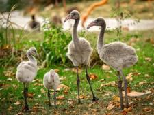 """Recordaantal flamingokuikens in ZOO Antwerpen: """"Eén succeskoppel zorgde voor maar liefst drie bevruchte eieren"""""""