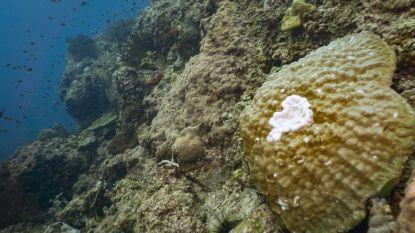 Koraal rond eiland Sint-Maarten sterft massaal af door nieuwe ziekte
