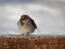 Check hier welke tuinvogels zich het vaakst laten zien in Drenthe en Groningen (spoiler: de huismus is als vanouds de onbetwiste nummer 1)