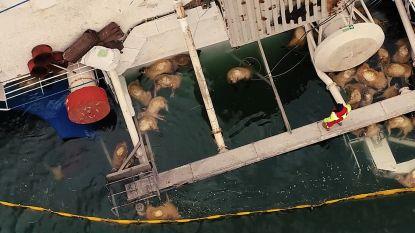 Bijna 15.000 schapen verdronken bij Roemenië na kapseizen schip