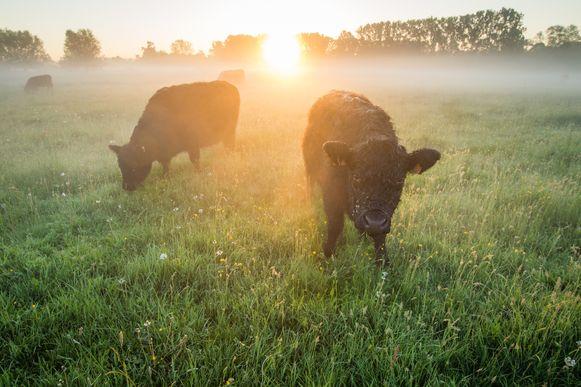 Schotse Gallowayrunderen in Scherpenheuvel. De voorbije drie jaar is meer dan 10.000 hectare aan blijvend grasland omgeploegd, blijkt uit cijfers van minister van Natuur en Landbouw Joke Schauvliege (CD&V).