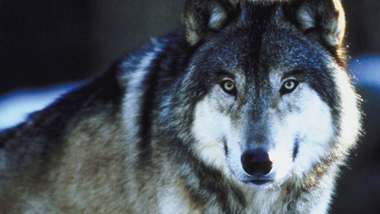Een grijze wolf Beeld Thinkstock