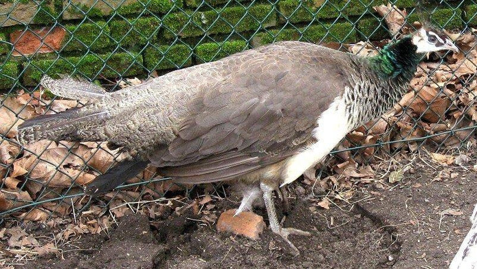 De ontsnapte pauw. foto Dierenweide Kronenburgerpark