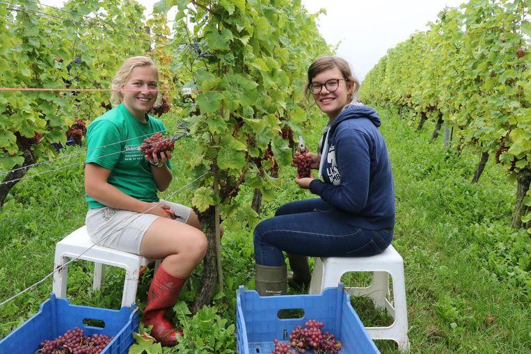 Massa's druiven dit jaar. Druivenpluksters Joyce en Eva hebben het naar hun zin.