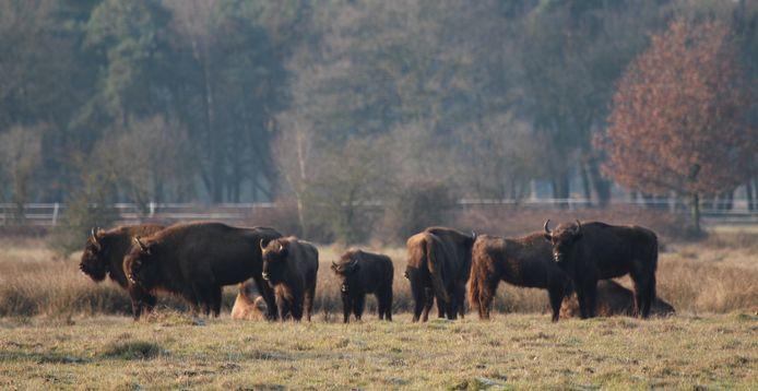 Wisenten in natuurgebied de Maashorst.