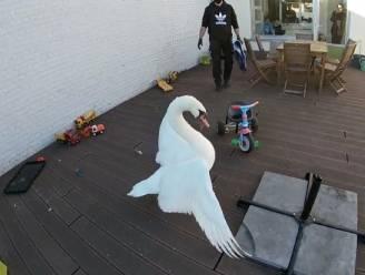 Uitgeputte zwaan maakt landing op terras in centrum van stad