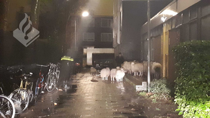 De schapen raakten door storm Ciara van slag en liepen vervolgens woonwijk Vrijenban in Delft binnen.