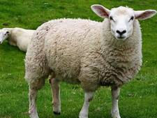 Illegale schapenslachterij: botten en schedels gevonden op erf in Amersfoort