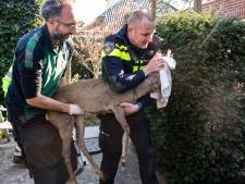 Hulpdiensten uren zoet met vangen 'Bambi' in centrum Baarn