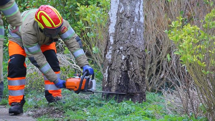 Ook in Mijdrecht heeft de brandweer uit voorzorg een boom omgezaagd. Door de wind zaten er scheuren in de stam en dit kan tot gevaarlijke situaties leiden.