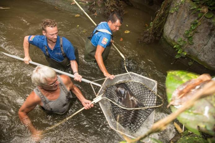 De verhuizing van de pangasius (vis) uit Burgers' Zoo.