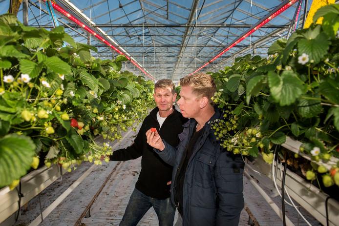 Aardbeientelers Jack en zijn zoon Michel Hereijgers bekijken de door led-verlichting geteelde aardbeien in hun kas in Zundert. Edwin Wiekens/Pix4Profs
