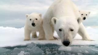 Het verhaal van een ijsberenfamilie