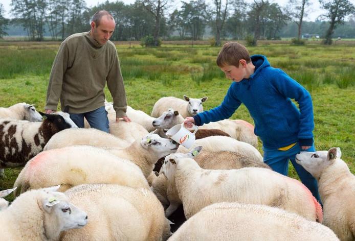 Dirk en Dennis Lagerweij tussen hun schapen.