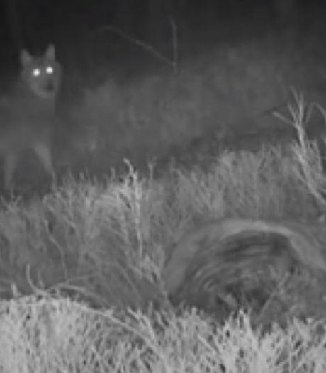 Gemist? Wolf knaagt aan dood hert. En: ramen en deuren dicht vanwege grote brand