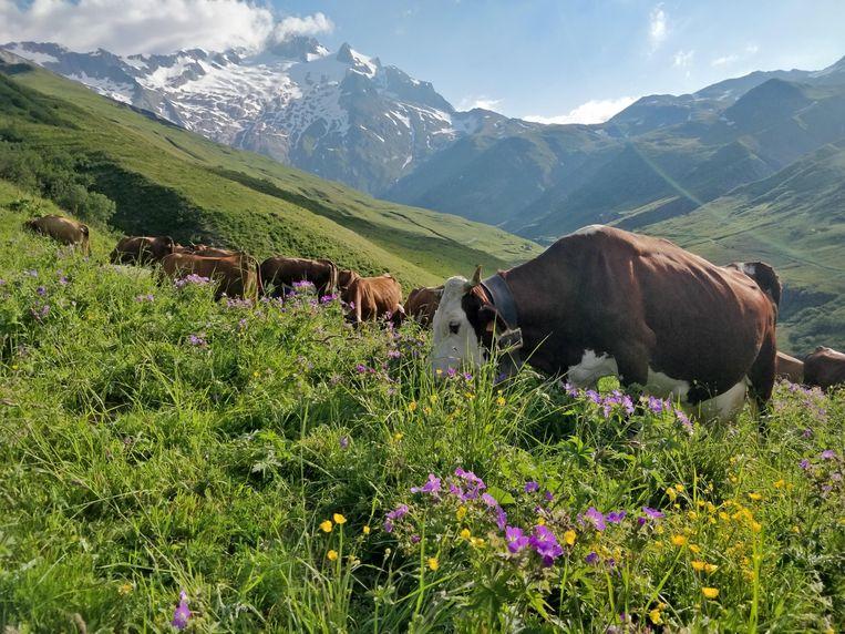 Abondance-koeien in de Alpenweide. Beeld Patrick Jansen
