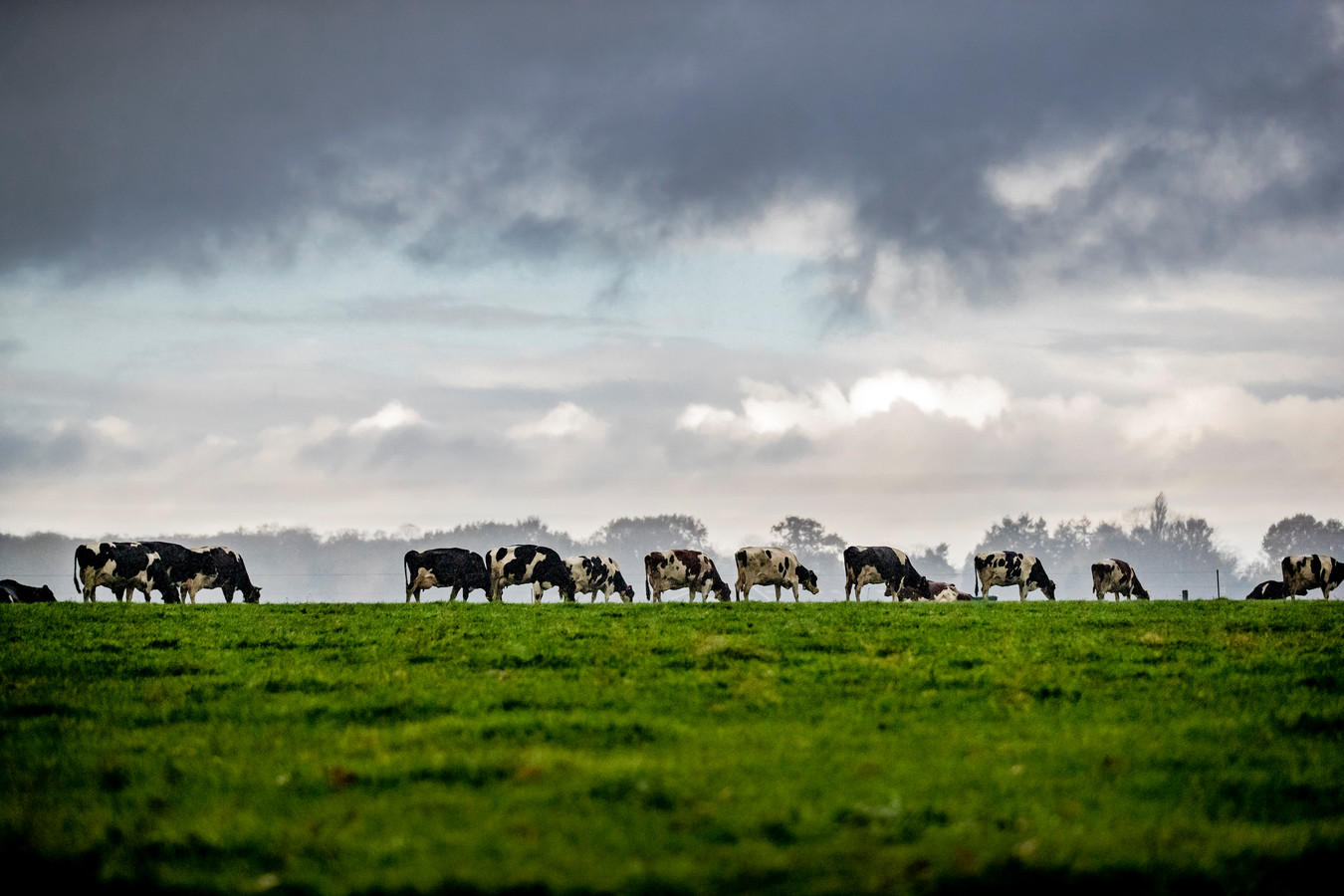 Koeien in de wei, ze krijgen vanaf september minder eiwit in hun krachtvoer.