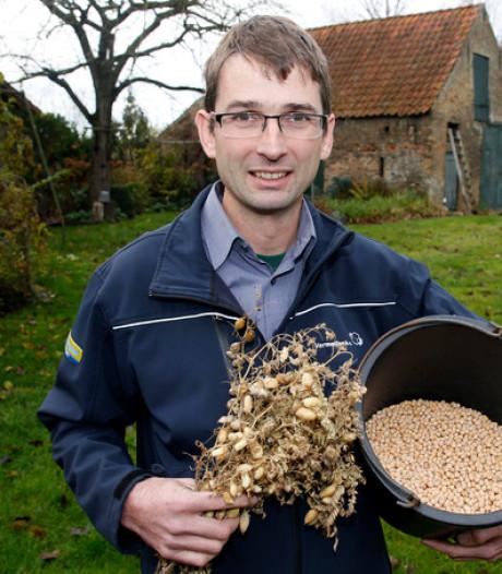 Kikkererwt gedijt in Zeeuws-Vlaamse klei