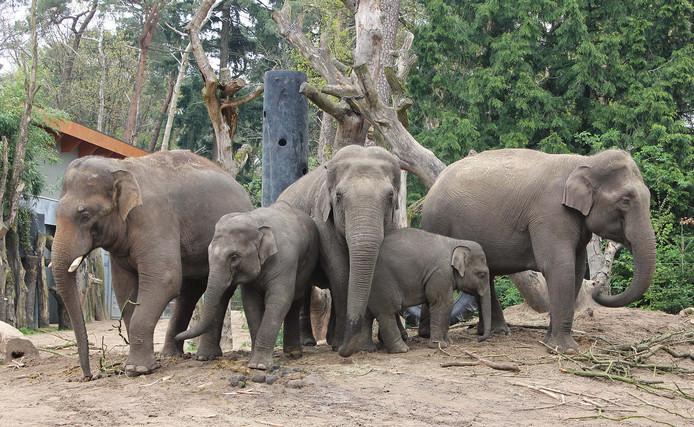 De olifantenkudde in Dierenpark Amersfoort