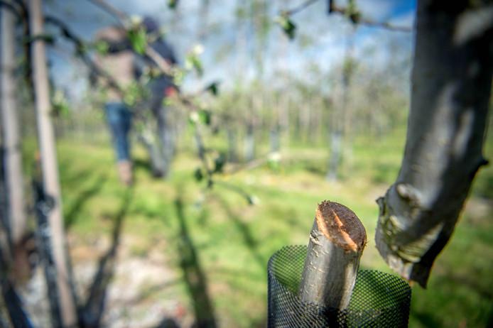 In de boomgaard van Bianca en Geert Aanholt in Boven-Leeuwen zijn in april 2017 350 fruitbomen vernield.