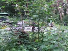 Reuzenbalsemien bedreigt biodiversiteit