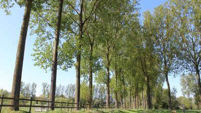 """Groen Gooik hekelt kapvergunning voor 37 populieren, eigenaar grond vreest voor ongelukken: """"Bomen kunnen omvallen bij windstoten"""""""