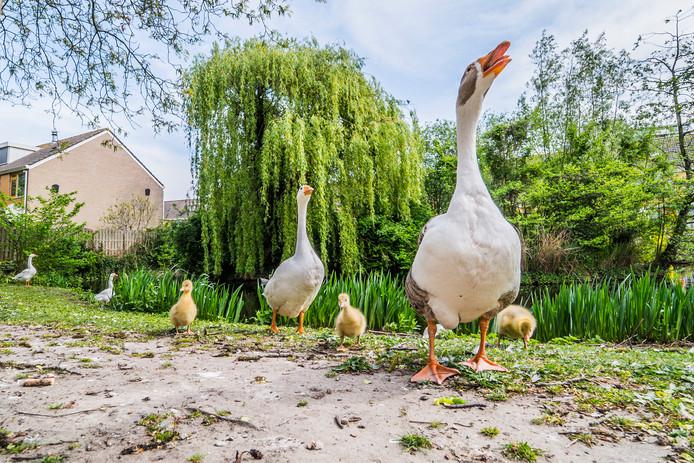 Eerder veroorzaakten de ganzen overlast bij de Chopinlaan in Delft.
