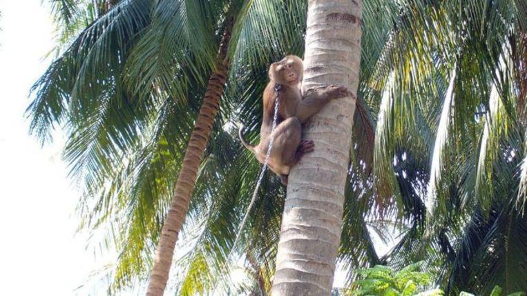 Een aapje moet in een boom klimmen om kokosnoten te plukken.