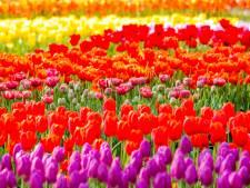Ondernemers uit Bergambacht delen bossen tulpen uit voor Pasen