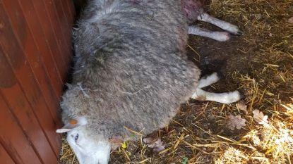 Vier schapen doodgebeten in Kerkhoven: alles wijst op wolven