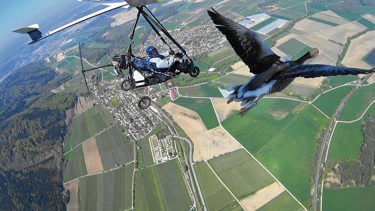 Michael Quetting vliegt samen met zijn ganzen. Beeld Michael Quetting