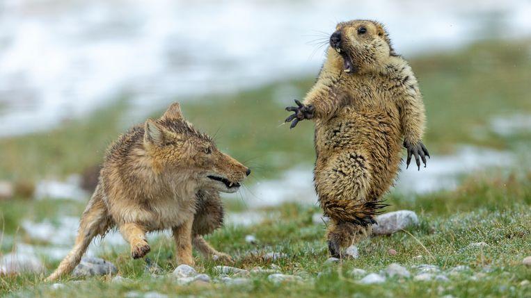 De bergmarmot schrikt zich rot na het zien van de vos. De foto van de Chinese fotograaf de Chinese fotograaf Yongqing Bao leverde hem de onderscheiding 'Wildlife Photographer of the Year' op. Beeld Yongqing Bao - Wildlife Photographer of the Year