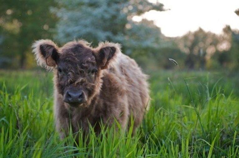 Galloway koeien zijn brave loebassen maar geen knuffeldieren.