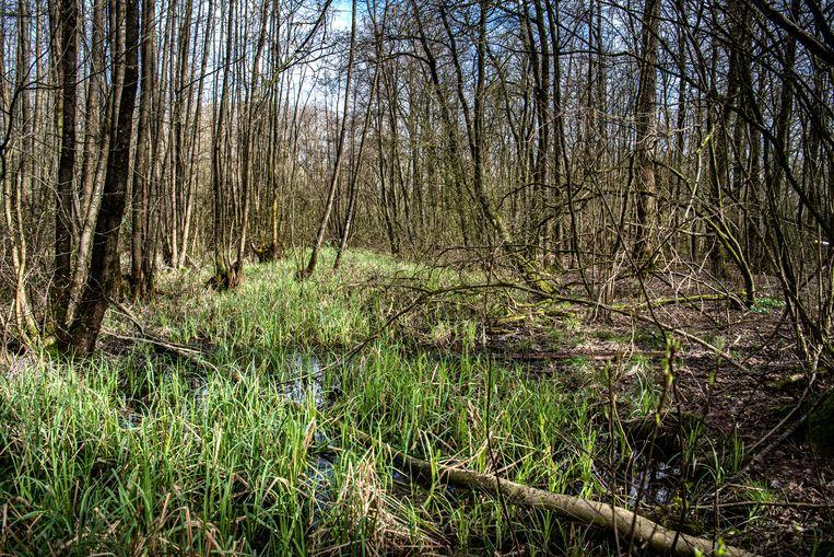 Door natuurmaatregelen is het kwelwater in de bossen van Middachten weer terug.  Beeld Koen Verheijden